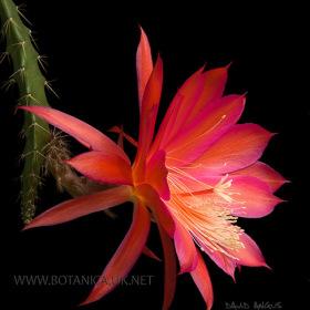 Aporocactus cv Marsha-2