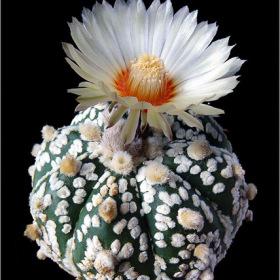 Astrophytum asterias cv
